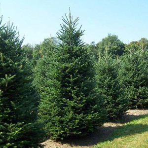 Χριστουγεννιάτικα φυσικά δέντρα