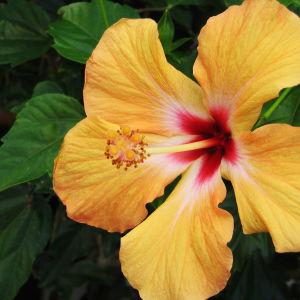 20 Σποροι Φυτο Ιβισκος Μιξη Χρωματων