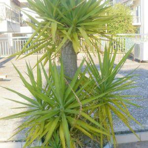 Γιούκα φυτό ύψους 1,5 μέτρων, Yucca gloriosa, σε μεγάλη γλάστρα διαμέτρου 80εκ, και φύλλα λογχοειδή, σκουροπράσινα, ενωμένα στη βάση τους.