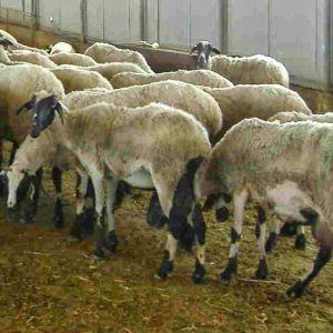 χιωτικα & ημιαιμα γαλλικα προβατα