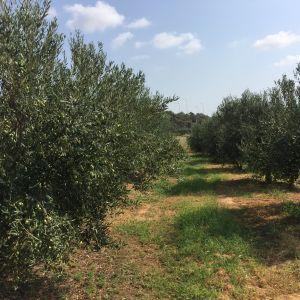 Κτήμα με 240 Δέντρα ελιες Χαλκιδικής